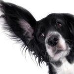 dog with big ear